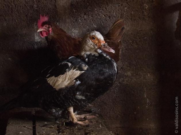 Klusā daba ar dzīviem putniem, kuri atļāvās kādu brīdi pastāvēt mierā