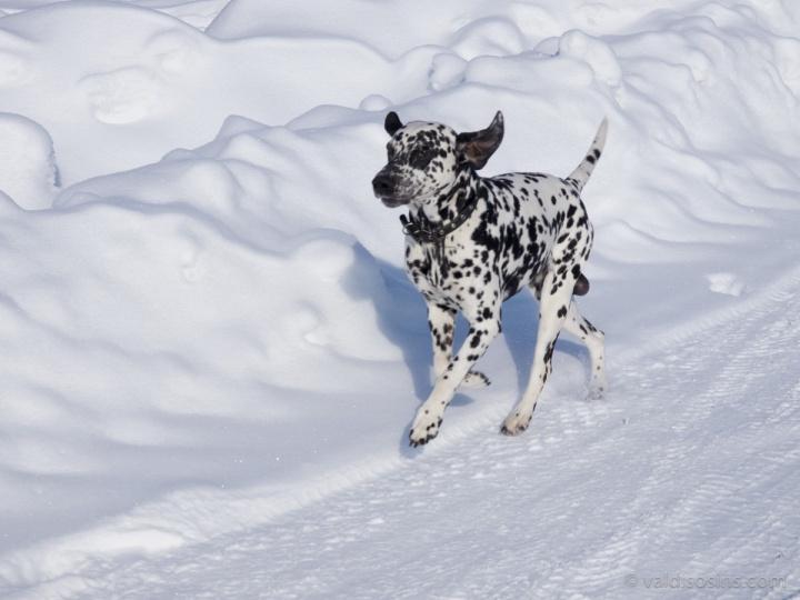 Vienmēr šķiet interesanti nofotografēt dalmācieti baltā sniegā.
