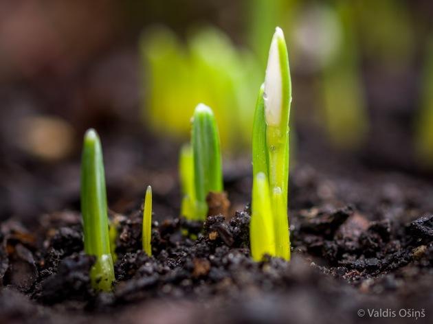 Sniegpulksteņi, dārzs, pavasaris