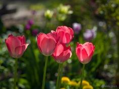 Tulpes_VO_5070001