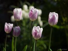 Tulpes_VO_5070006