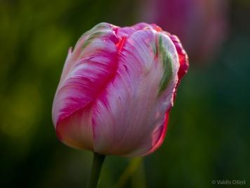 Tulpes_VO_5070010