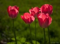 Tulpes_VO_5070034