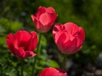 Tulpes_VO_5070035