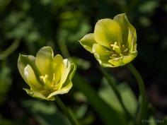 Tulpes_VO_5070036