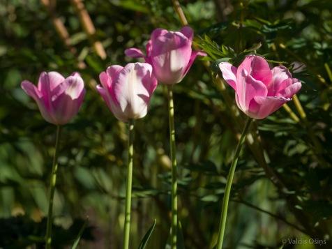 Tulpes_VO_5070045