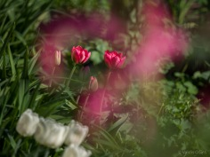 Tulpes_VO_5070049