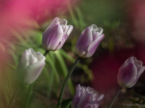 Tulpes_VO_5070058