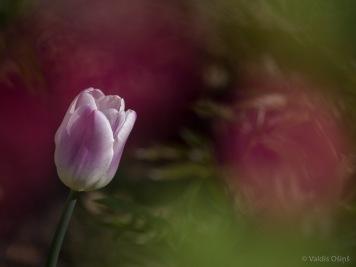 Tulpes_VO_5070060