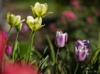 Tulpes_VO_5070066
