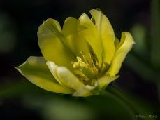 Tulpes_VO_5070086