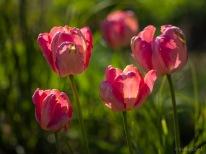 Tulpes_VO_5070102