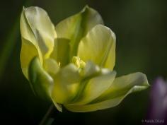Tulpes_VO_5070113