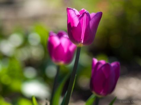 Tulpes_VO_5070114