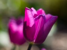 Tulpes_VO_5070116